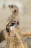 Meerkats (suricate) op wachtplicht stock afbeelding