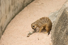Meerkats or Suricate playing a died lizard. On the sand Stock Photos