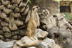Meerkats or Suricate standing. And guarding Royalty Free Stock Images