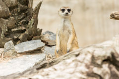 Meerkats or Suricate standing Stock Photos