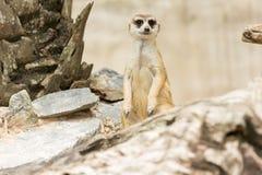 Meerkats or Suricate standing. And guarding Stock Photos