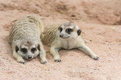 Meerkats or Suricates (Suricata suricatta). Two Meerkats or Suricates (Suricata suricatta) prostrate on sand Stock Photos