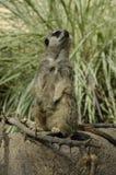 Meerkats (suricatta Suricata) Стоковые Фото
