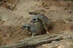 Meerkats (suricatta Suricata) Стоковое фото RF