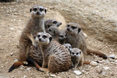 Meerkats (suricatta Suricata) Стоковые Изображения RF
