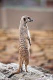 Meerkats - suricatta Suricata Στοκ φωτογραφία με δικαίωμα ελεύθερης χρήσης