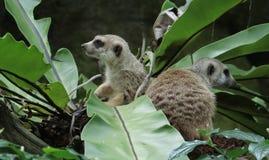 Meerkats (suricatta Suricata) Στοκ φωτογραφία με δικαίωμα ελεύθερης χρήσης