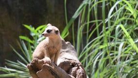 Meerkats terwijl status op een rots en rond het kijken Meerkat die het bevindende rond kijken waarnemen stock video