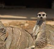 Meerkats Tiere des Natur-Parks von CabÃ-¡ rceno lizenzfreie stockbilder