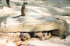 Meerkats toying around Stock Images