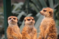 Meerkats Royalty Free Stock Photography