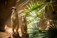 Meerkats. Two meerkats near a plant looking in opposite direction Stock Images