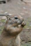 Meerkats a un écrou Photo stock