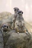 Meerkats - una famiglia Fotografia Stock