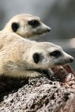 Meerkats up close. Two meerkats looking in the same direction royalty free stock photos