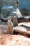 Meerkats vakt Royaltyfria Bilder