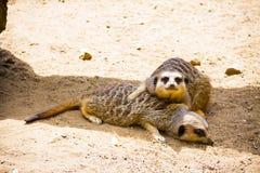 Meerkats vila Arkivfoton