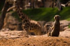 Meerkats w śmiesznej pozie z żyrafą w tle obrazy stock