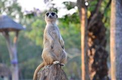 Meerkats w zoo fotografia stock