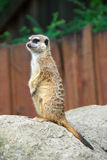 Meerkats. Watch and save his family Royalty Free Stock Photo