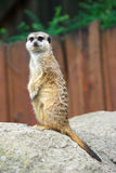 Meerkats. Watch and save his family Stock Photos
