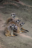 Meerkats watching on a row. 6 lovely meerkats sitting on 1 row and watching Stock Photo