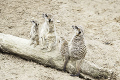 Meerkats in the wild Stock Image