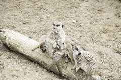 Meerkats in the wild Stock Photography