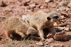 Meerkats With A Mouse Royalty Free Stock Images