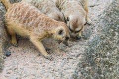 Meerkats współzawodniczy dla jedzenia. Zdjęcia Stock