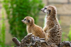 Meerkats in the zoo Stock Image