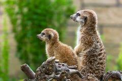 Meerkats in the zoo stock image