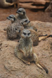 Meerkats in the zoo Royalty Free Stock Image