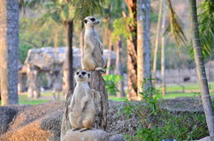 Meerkats in zoo Stock Image