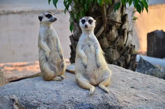 Meerkats in zoo Stock Photo