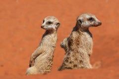 Meerkatschildwachten op rood zand, de woestijn van Kalahari, Namibië royalty-vrije stock foto