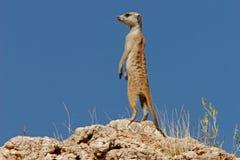meerkatsuricate fotografering för bildbyråer