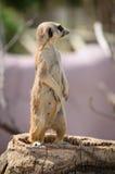 Meerkattribune waakzaam op boomstam stock afbeeldingen