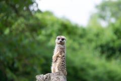 Meerkatzitting op een boomstomp Royalty-vrije Stock Foto