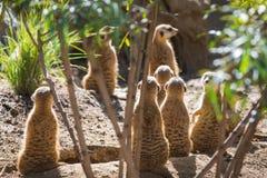 Meerkcat. Animal in San Diego Zoo Stock Image