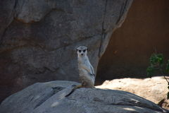 Meerket on the stone Stock Image
