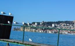 Meermeeuwen bij Ohrid-Meer Stock Fotografie