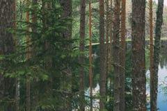 Meermening door bomen van diep naaldbos stock foto's