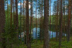 Meermening door bomen van diep naaldbos royalty-vrije stock afbeelding