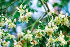Meerrettich Baum oder Trommelstock hat wei?e und gelb-orangee Blume lizenzfreie stockbilder