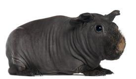 Meerschweinchen, 3 Jahre alt stockfotografie