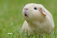 Meerschweinchen Lizenzfreie Stockfotografie