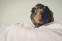 Meerschweinchen auf dem Sofa Lizenzfreie Stockfotografie