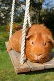Meerschweinchen auf einem Schwingen. Lizenzfreies Stockfoto