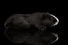 Meerschweinchen auf lokalisiertem schwarzem Hintergrund Lizenzfreies Stockfoto